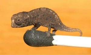 smallest chameleon in the world